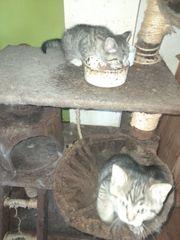 Selkirk Rex Kitten Mix