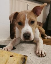 6 Monate alte Hunde Dame