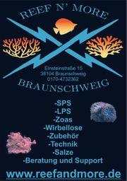 Astralium calcar - Sternschnecke Kronenschnecke Meerwasser