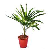 Trachycarpus Fortunei - Laufradpalme 30-50cm art58465