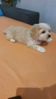 Bichon Mini Malteser