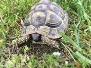 Griechische Landschildkröte Merlin sucht neues