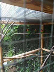 Pfirsichköpchen Wildfarben