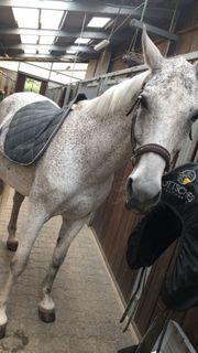 liebes Pferd sucht langfristige Reitbeiteiligung