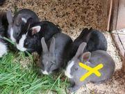 Zwerghasenbabys Farbenzwerge Kaninchen
