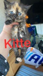 Orginal - perser kitte