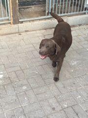 sehr schöner Labrador Deckrüde zu