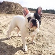 BENTLEY - Französische Bulldogge Deckrüde Blauträger