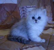 Perser Kitten mit Stammbaum