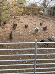 6 x Orpington Hühner zum
