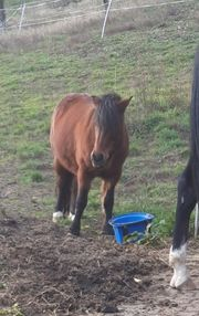 Pony Pferd zur Verfügung gesucht