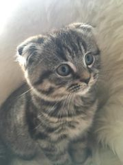 Süßes BKH Kätzchen sucht liebevolles