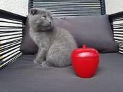 Scottish Fold Kitten blue BKH