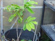 Obstpflanze Ginko Feigenbaum Indianabanane Goij