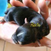 Yorkshire Terrier Rüde Welpe reinrassig