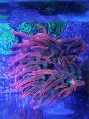 Meerwasser Sunburst Anemone