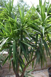 Yucca Palme 210 cm