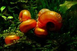 Fische, Aquaristik - orangene Posthorn Schnecken Wichtig Fürs
