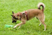 Lacia 3 Jahre 8 Monate - Schäferhund-Mix