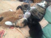 5 süsse Katzenbabys abzugeben
