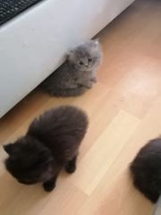 Perser Katze Bäby