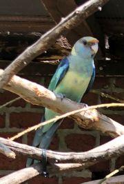Barnardsittich weiblich spaltblau