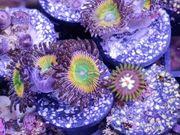 Korallen Ableger Meerwasser DNZ