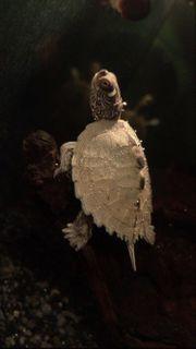 Ouchita Höckerschildkröte