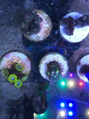 5 Polypen Zoanthus Blueberry Pie