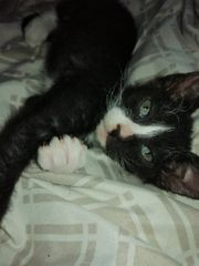 Don sphynx brush kitten