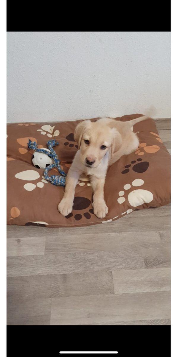 Labrador Welpe Hündin
