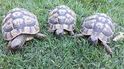 3 Landschildkröten weiblich semiadult