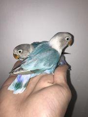 Junge Vögel zu verkaufen