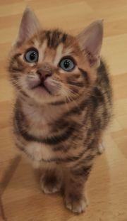 100 reinrassige Bengal Kitten Kätzchen