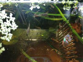 Rotblaue Endler Guppys: Kleinanzeigen aus Taufkirchen - Rubrik Fische, Aquaristik
