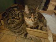 Knuffiges Katzen-Duo abzugeben