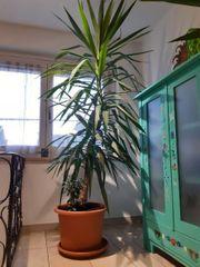 yucca palme mit geldbaum
