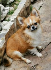 Chihuahuarüde 8 Monate alt
