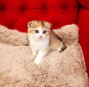 Scottish Fold weiblich Katze Kitten