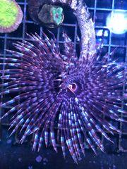 Sabellastarte magnifica Röhrenwurm