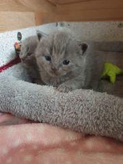 BKH Kitten Farbe Blue 2