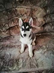 Husky sucht Liebevolle Familie