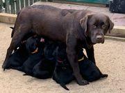 reinrassige braune Labradorwelpen