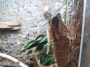 4 0 Acanthosaura nataliae abzugeben