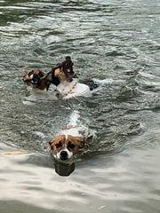 Deckrüde Jack Russel Terrier KEIN