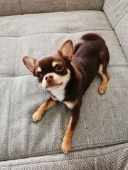Chihuahua Deckrüde xs in Niedersachsen