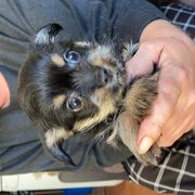 Yorkshire Chihuahua mix Welpe