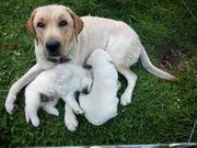 noch 1 blonder Labradorwelpe abzugeben