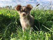 reinrassiger Chihuahua Welpe mit Ahnentafel