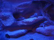 4 Leopardgeckos mit Terrarium zu